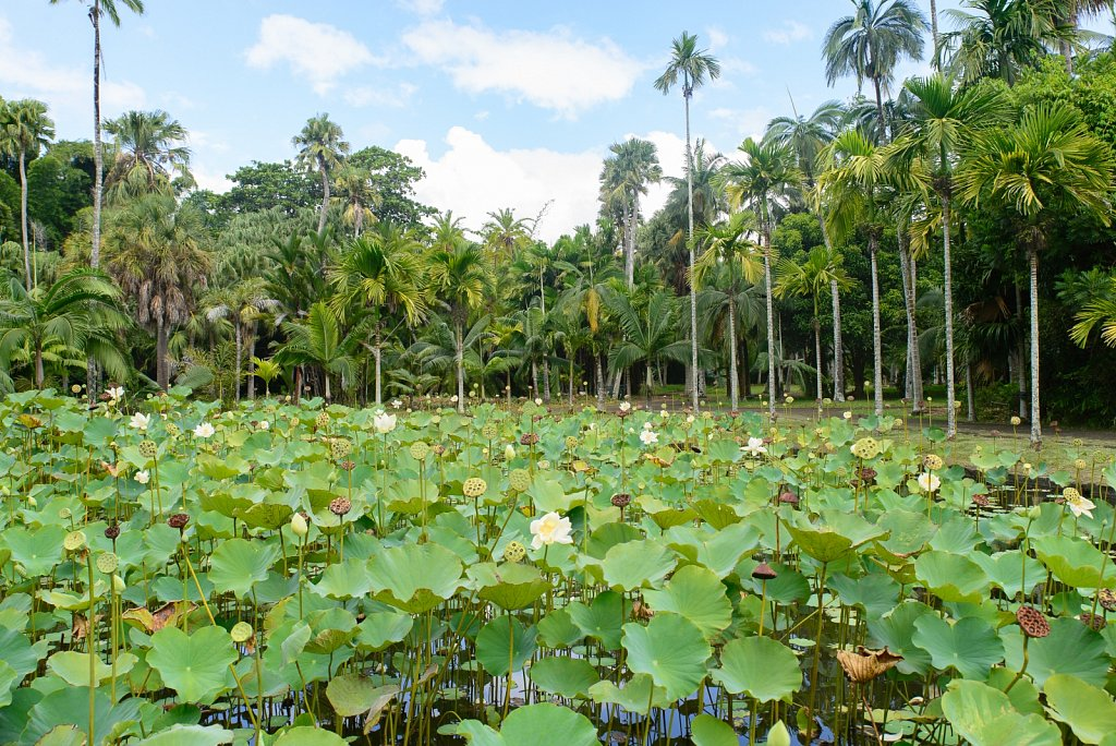Pamplemousses Botanical Garden Black River. Mauritius.